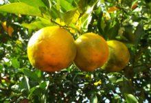 Il Bergamotto di Calabria